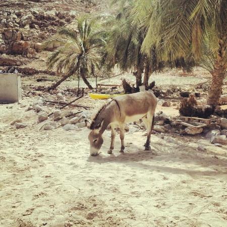 donkey in musandam