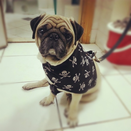 gangster pug in dubai